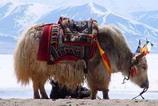 海拔最高的牛--西藏牦牛