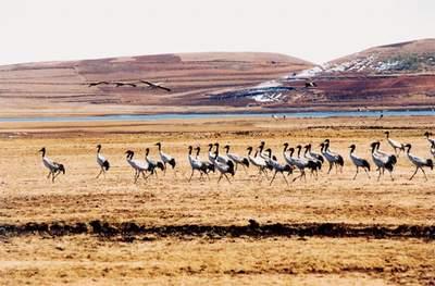西藏——全球最大的黑颈鹤栖息地