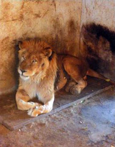 迎娶了从成都动物园过来的母狮,但两年过去了,它们俩的感情日渐变淡